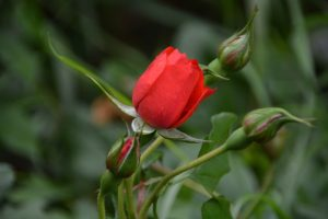 openbloeiende roos na scheiding